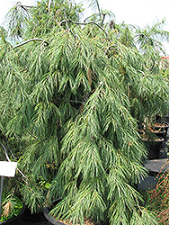 Eastern White Pine - Weeping (Pinus strobus 'Pendula') at Millcreek Nursery Ltd