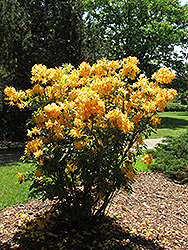Golden Lights Azalea (Rhododendron 'Golden Lights') at Millcreek Nursery Ltd
