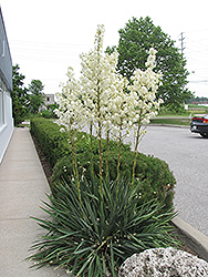 Adam's Needle (Yucca filamentosa) at Millcreek Nursery Ltd