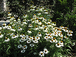 White Swan Coneflower (Echinacea purpurea 'White Swan') at Millcreek Nursery Ltd