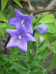 Balloon Flower (Platycodon grandiflorus) at Millcreek Nursery Ltd
