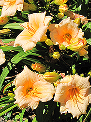 Mini Pearl Daylily (Hemerocallis 'Mini Pearl') at Millcreek Nursery Ltd