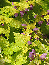 Golden Spotted Dead Nettle (Lamium maculatum 'Aureum') at Millcreek Nursery Ltd
