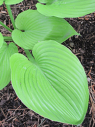 Sum and Substance Hosta (Hosta 'Sum and Substance') at Millcreek Nursery Ltd