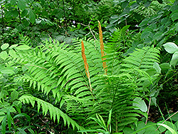 Cinnamon Fern (Osmunda cinnamomea) at Millcreek Nursery Ltd