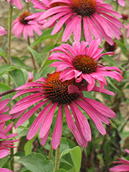 Ruby Star™ Coneflower (Echinacea purpurea 'Rubinstern') at Millcreek Nursery Ltd