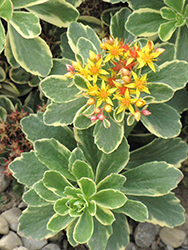 Variegated Russian Stonecrop (Sedum kamtschaticum 'Variegatum') at Millcreek Nursery Ltd