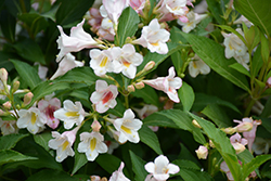 Sonic Bloom Pearl Weigela (Weigela florida 'Bokrasopea') at Millcreek Nursery Ltd