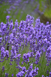 Hidcote Lavender (Lavandula angustifolia 'Hidcote') at Millcreek Nursery Ltd