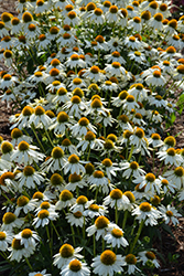 PowWow White Coneflower (Echinacea purpurea 'PowWow White') at Millcreek Nursery Ltd