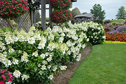 Fire Light® Hydrangea (Hydrangea paniculata 'SMHPFL') at Millcreek Nursery Ltd