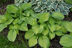 Brother Stefan Hosta (Hosta 'Brother Stefan') at Millcreek Nursery Ltd