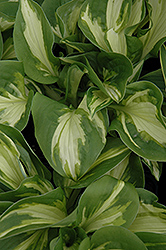 Trifecta Hosta (Hosta 'Trifecta') at Millcreek Nursery Ltd