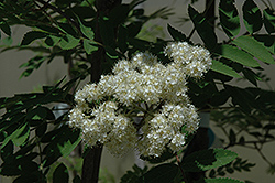 Black Hawk Mountain Ash (Sorbus aucuparia 'Black Hawk') at Millcreek Nursery Ltd