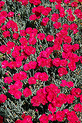 Frosty Fire Pinks (Dianthus 'Frosty Fire') at Millcreek Nursery Ltd