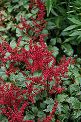 Burgundy Red Astilbe (Astilbe x arendsii 'Burgunderrot') at Millcreek Nursery Ltd