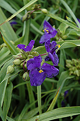 Zwanenburg Blue Spiderwort (Tradescantia x andersoniana 'Zwanenburg Blue') at Millcreek Nursery Ltd