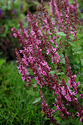 Sensation Deep Rose Meadow Sage (Salvia nemorosa 'Sensation Deep Rose') at Millcreek Nursery Ltd