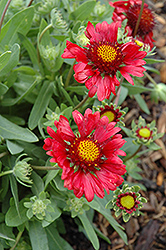 Burgundy Blanket Flower (Gaillardia x grandiflora 'Burgundy') at Millcreek Nursery Ltd