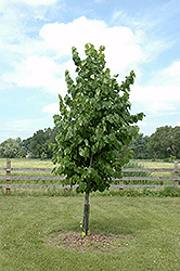 True North Linden (Tilia americana 'Duros') at Millcreek Nursery Ltd