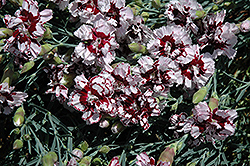 Coconut Punch Pinks (Dianthus 'Coconut Punch') at Millcreek Nursery Ltd
