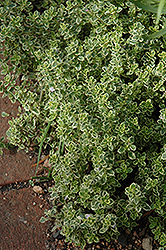 Aureus Lemon Thyme (Thymus x citriodorus 'Aureus') at Millcreek Nursery Ltd