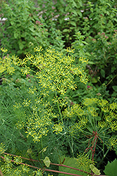 Dill (Anethum graveolens) at Millcreek Nursery Ltd