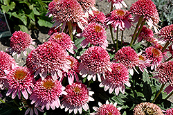 Butterfly Kisses Coneflower (Echinacea purpurea 'Butterfly Kisses') at Millcreek Nursery Ltd