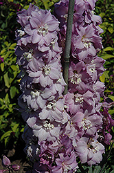 New Millenium Dwarf Stars Larkspur (Delphinium 'New Millenium Dwarf Stars') at Millcreek Nursery Ltd