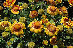 Arizona Apricot Blanket Flower (Gaillardia x grandiflora 'Arizona Apricot') at Millcreek Nursery Ltd