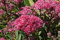 Carl Stonecrop (Sedum 'Carl') at Millcreek Nursery Ltd