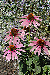 Prairie Splendor Coneflower (Echinacea purpurea 'Prairie Splendor') at Millcreek Nursery Ltd