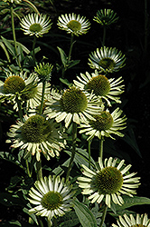 Green Jewel Coneflower (Echinacea 'Green Jewel') at Millcreek Nursery Ltd
