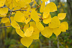 Trembling Aspen (Populus tremuloides) at Millcreek Nursery Ltd