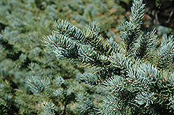 White Spruce (Picea glauca) at Millcreek Nursery Ltd