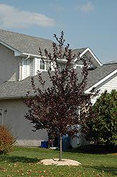 Petsdelite /® 15 Seeds Schubert Chokecherry Shubert Chokecherry Prunus Virginiana Shubert Seed