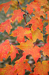 Sugar Maple (Acer saccharum) at Millcreek Nursery Ltd