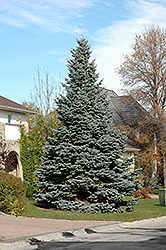 Baby Blue Blue Spruce (Picea pungens 'Baby Blue') at Millcreek Nursery Ltd