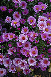 Purple Dome Aster (Aster novae-angliae 'Purple Dome') at Millcreek Nursery Ltd