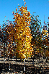 Lord Selkirk Sugar Maple (Acer saccharum 'Jefselk') at Millcreek Nursery Ltd