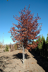Shooting Star Northern Pin Oak (Quercus ellipsoidalis 'Shooting Star') at Millcreek Nursery Ltd