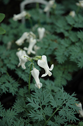 Ivory Hearts Bleeding Heart (Dicentra 'Ivory Hearts') at Millcreek Nursery Ltd