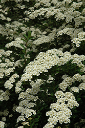 Snowmound Spirea (Spiraea nipponica 'Snowmound') at Millcreek Nursery Ltd