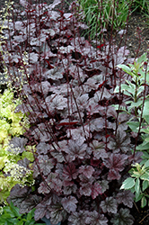 Plum Pudding Coral Bells (Heuchera 'Plum Pudding') at Millcreek Nursery Ltd