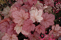 Georgia Peach Coral Bells (Heuchera 'Georgia Peach') at Millcreek Nursery Ltd