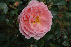 Apricot Drift® Rose (Rosa 'Meimirrote') at Millcreek Nursery Ltd