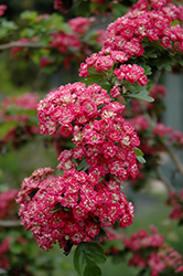 Toba Hawthorn (Crataegus x mordenensis 'Toba') at Millcreek Nursery Ltd