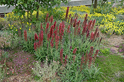 Red Feathers (Echium amoenum) at Millcreek Nursery Ltd