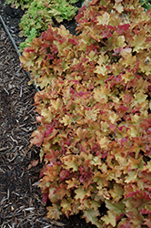 Caramel Coral Bells (Heuchera 'Caramel') at Millcreek Nursery Ltd