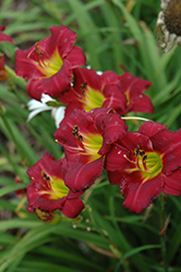 Pardon Me Daylily (Hemerocallis 'Pardon Me') at Millcreek Nursery Ltd